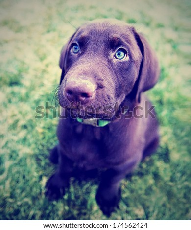 a cute chocolate lab puppy sitting in the grass done with a vintage retro instagram filter  - stock photo