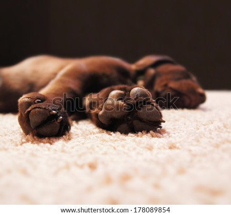 a cute chocolate lab puppy sleeping in a house with shallow dept - stock photo