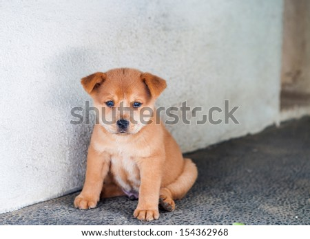 a cute chubby little puppy - stock photo