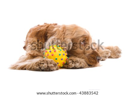 A cute Cocker Spaniel dog resting with a colorful toy ball on front paws, isolated on a white studio background.