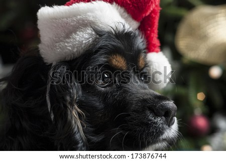 a cute Cocker Spaniel in front of a christmas tree with a santa hat - stock photo