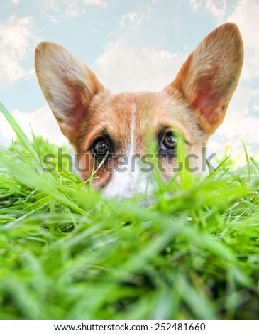 a cute corgi hiding in green grass  - stock photo