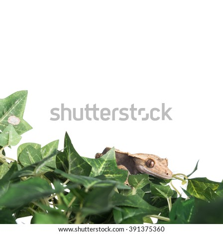 A cute Crested  gecko hiding in some leaves, shot with copy space for text
