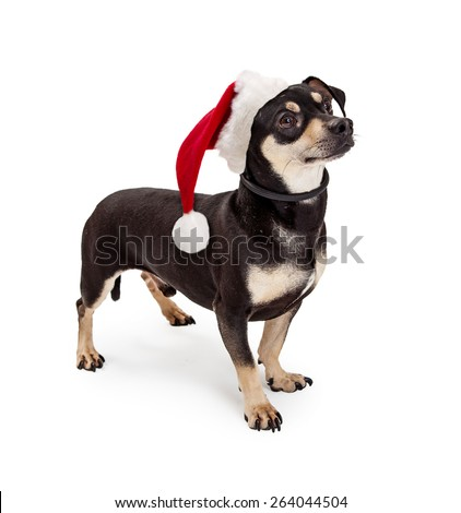 A cute Dachshund and Chihuahua mixed breed dog wearing a Christmas santa hat looking to the side