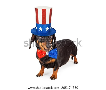 A cute Dachshund breed dog wearing a patriotic red, white and blue hat and tie to celebrate America - stock photo