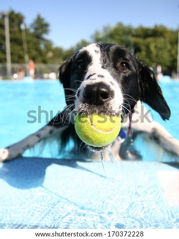a cute dog at a local public pool - stock photo