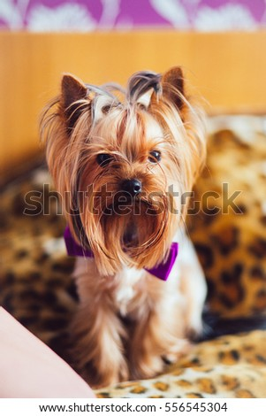 A cute dog. Dog. Beautiful Yorkshire Terrier. Yorkshire Terrier with purple butterfly. Boy Yorkshire Terrier. York. The birthday of his beloved dog.