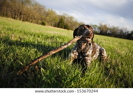 a cute dog in a field, chewing on a stick - stock photo
