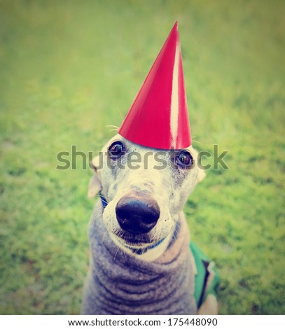 a cute dog in a local park with a birthday hat on done with a retro vintage instagram filter - stock photo