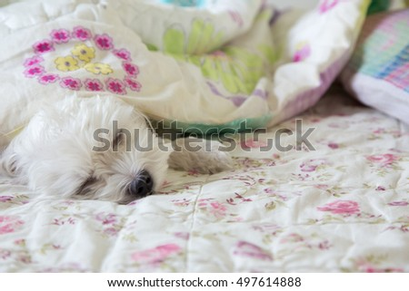 A cute Dog, little Maltese sleeping on bed with flower blanket.