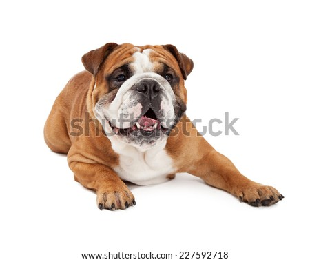 A cute English Bulldog looking forward while laying with outstretched paws.
