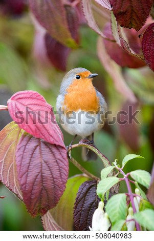 A cute European robin sits in a Viburnum Plicatum Kilimandjara with red autumn leave, taken in vertical format.