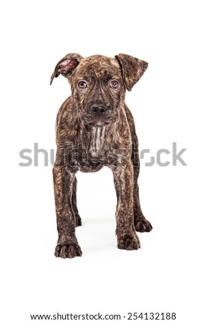 A cute four month old mixed breed puppy dog with a brindle color coat standing and looking forward - stock photo