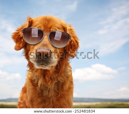 a cute golden retriever by a river or lake with sunglasses on  - stock photo