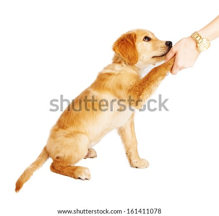 A cute Golden Retriever Puppy being trained to shake hands with his paw - stock photo