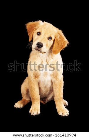 A cute Golden Retriever puppy sitting against a black background and tilting his head - stock photo