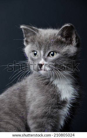 a cute grey kitten or cat portrait on an isolated black background  - stock photo