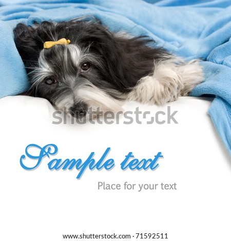 A cute havanese dog is lying in bed and facing to camera isolated on white background - stock photo