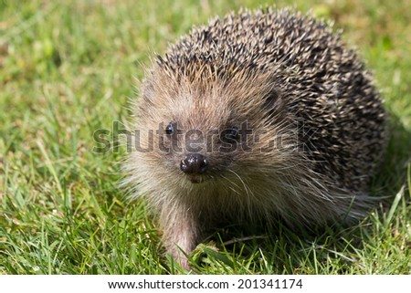 A cute hedgehog looking for food in my garden