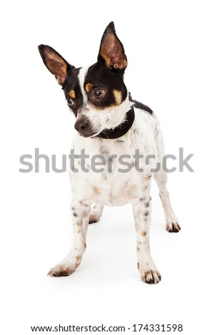 A cute Jack Russell and Chihuahua mixed breed dog looking down and to the side