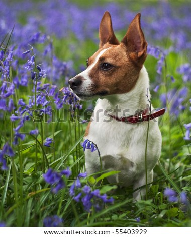 A cute Jack Russell terrier with pointed ears sitting among bluebells in English woodland in spring. - stock photo