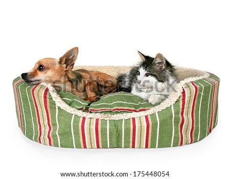 a cute kitten and a chihuahua on a striped pet bed - stock photo