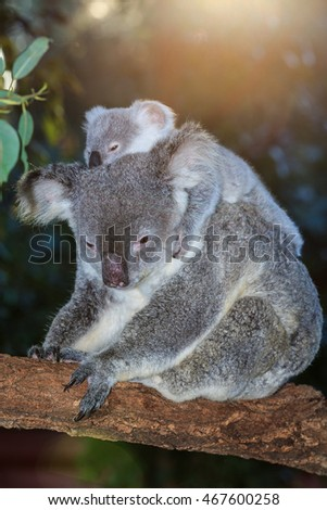 A cute Koala mother is carrying her baby on her back on a branch of tree with an amazing sun setting behind them with rays of light on their head.