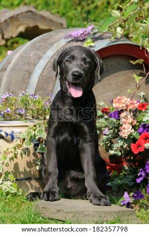A cute Labrador Retriever puppy, color charcoal, sitting in a garden - stock photo