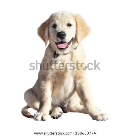 A cute Labrador Retriever puppy on a white background - stock photo