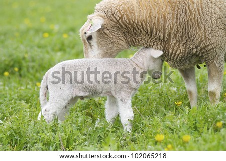 A cute lamb and it's mother loving each other in a grassy field, taken in rural Australia. - stock photo