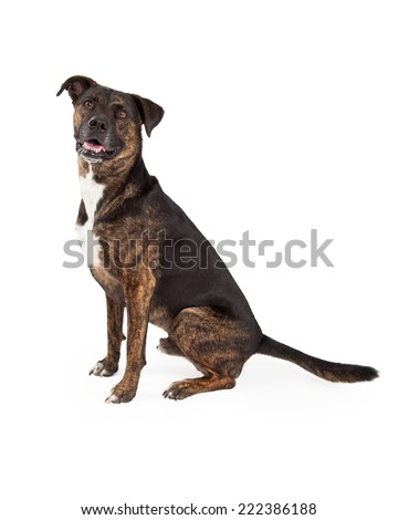 A cute large mixed breed dog with a brindle brown and black color coat sitting to the side and looking straight at the camera - stock photo