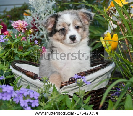 A cute little Aussie in a basket in the middle of a flower garden.