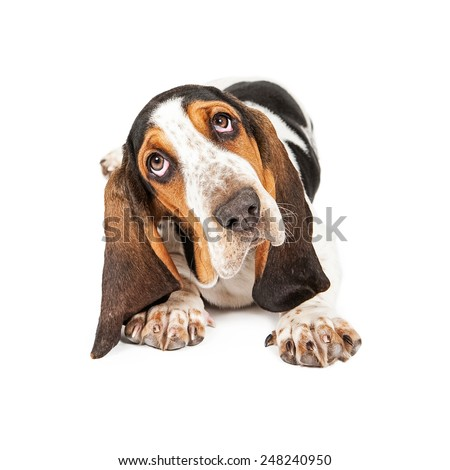 A cute little Basset Hound breed puppy tilting his head while looking at the camera - stock photo