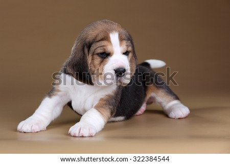A cute little beagle puppy