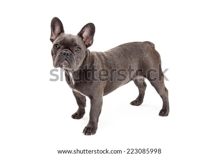 A cute little blue color  French Bulldog standing to the side - stock photo