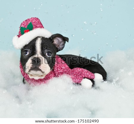 A cute little Boston puppy wearing a hat and scarf in a snow scene. - stock photo