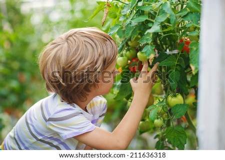 A cute little boy gathering in ripe tomato harvest in a vegetable garden. Kids are playing. Little helpers. - stock photo
