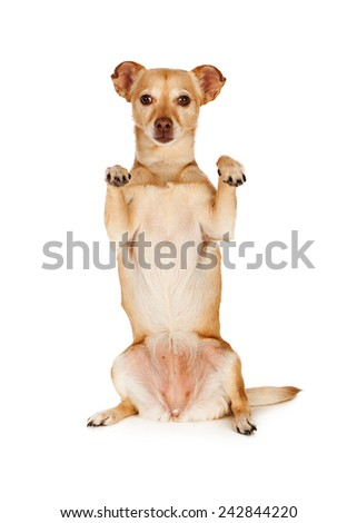 A cute little Chihuahua crossbreed dog sitting up and begging with her paws up - stock photo