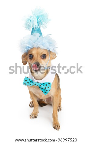 A cute little Chihuahua dog wearing a blue birthday party hat and a polka dot bow tie with his tongue sticking out - stock photo