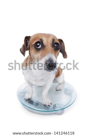 A cute little dog is sitting on the scales to weigh in body weight and guiltily looking at the camera. Sad sight. unsuccessful diet - stock photo