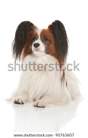 a cute little dog of the papillion breed