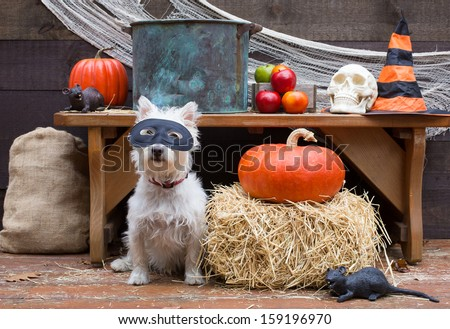 A cute little dog wearing a mask ready for the apple bobbing to begin at a Halloween party in a barn. - stock photo