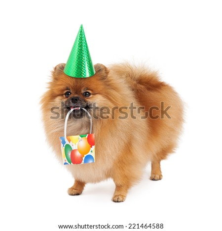 A cute little fluffy Pomeranian dog wearing a green party hat while carrying a present in her mouth - stock photo