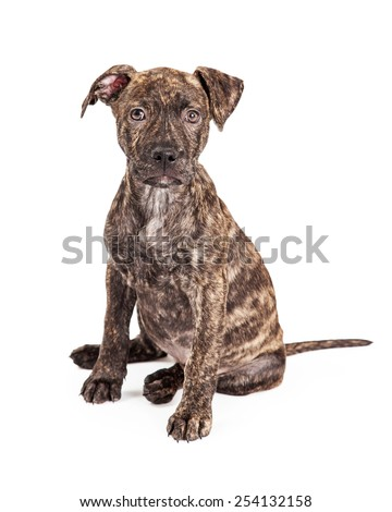 A cute little four month old puppy large breed cross with a striped brindle coat sitting and looking at the camera - stock photo