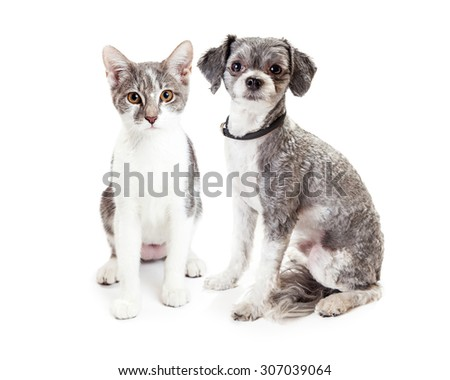A cute little Havanese crossbreed dog and grey and white kitten sitting down together