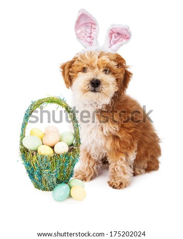 A cute little Havanese puppy wearing bunny ears while sitting next to a pretty basket full of pastel color Easter eggs - stock photo