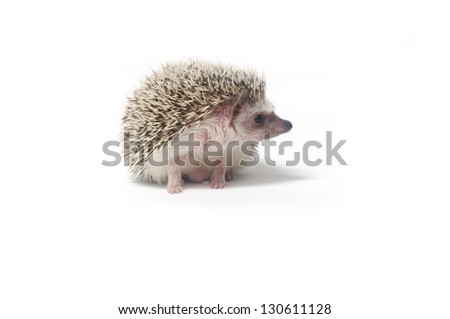A cute little hedgehog isolated on a white background - stock photo