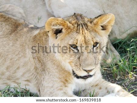 A cute little lion cub - stock photo