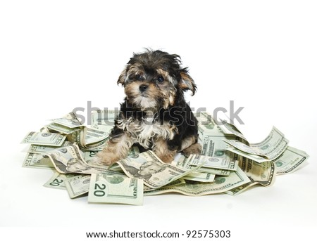 A cute little Morkie puppy sitting in a pile of money on a white background. - stock photo