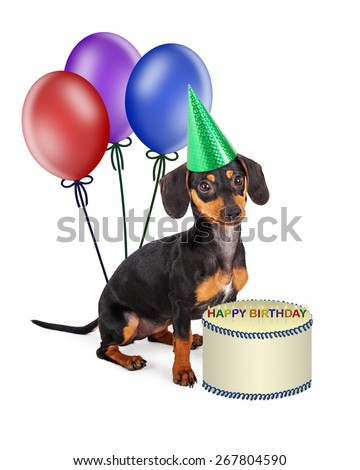 A cute little purebred Dachshund breed puppy wearing a party hat and sitting with colorful balloons and a birthday cake - stock photo